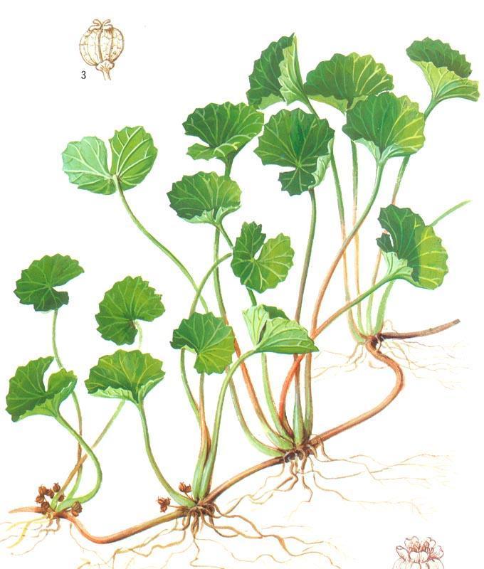 Centella asiatica выращивание 43