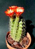 Echinocereus triglochidiatus 10 шт